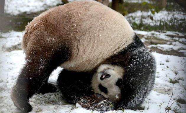 Panda doet koprol