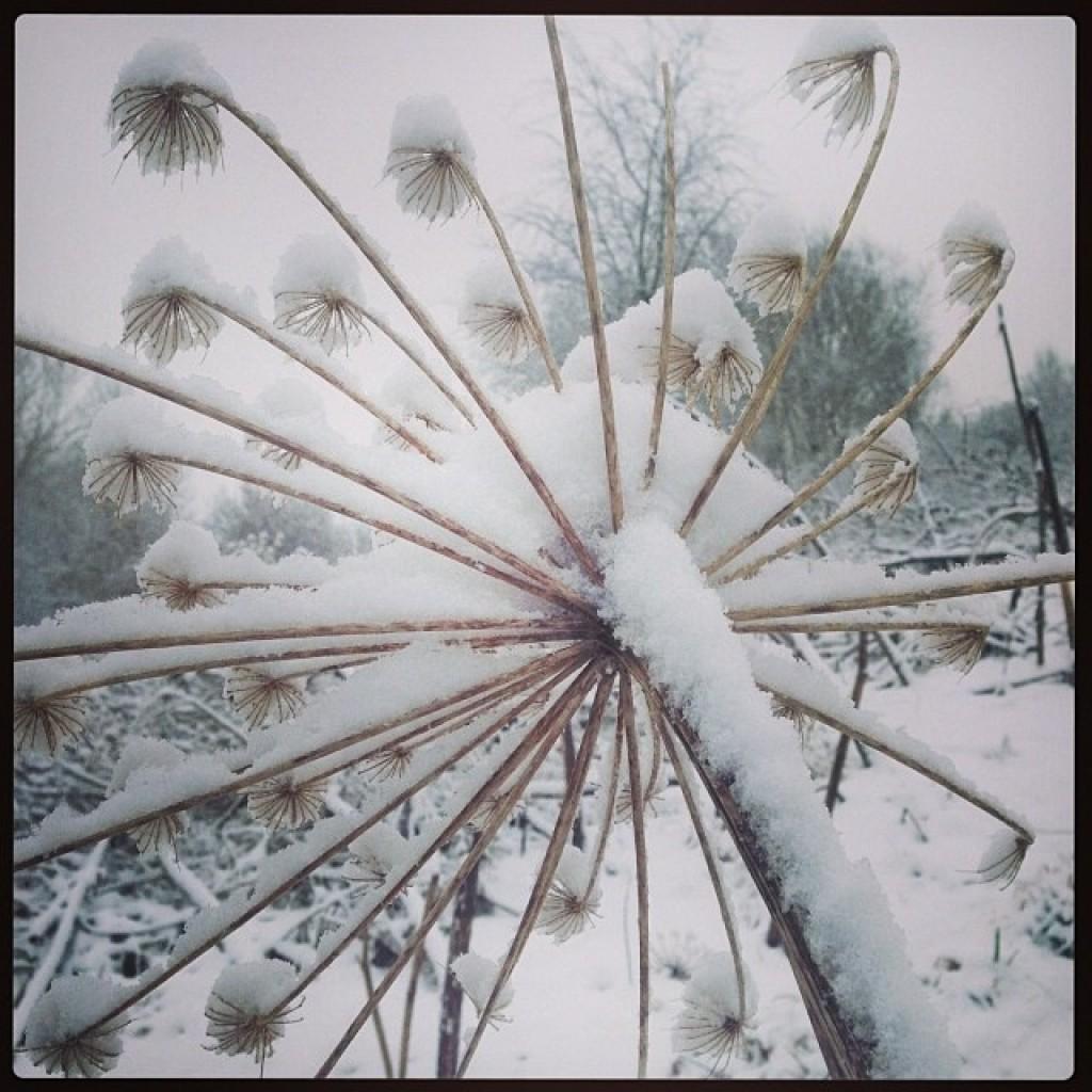 berenklauw onder sneeuw