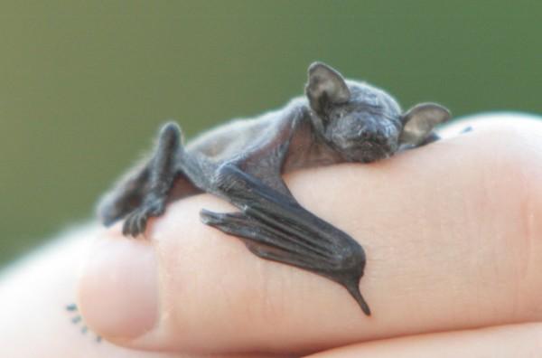 Schattige baby vleermuis