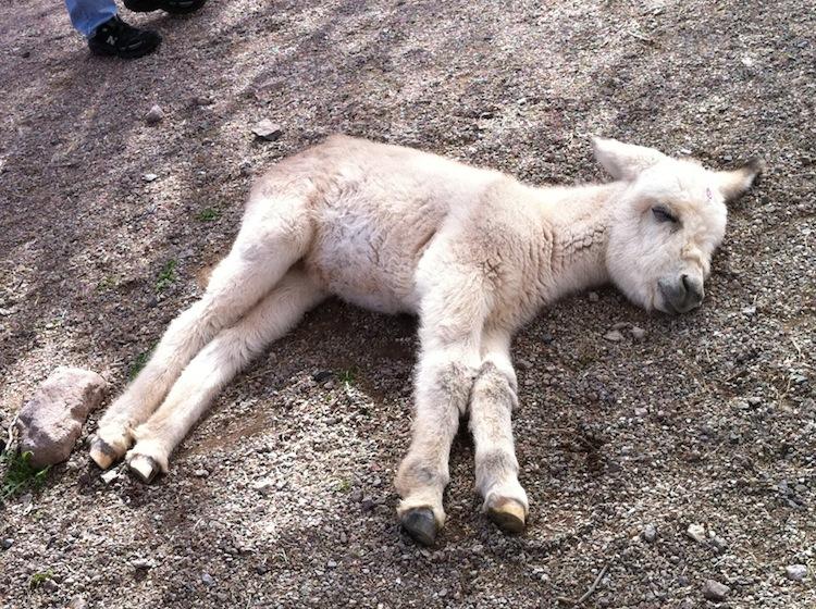 Schattige baby ezel