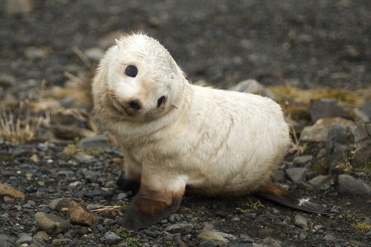 Schattige babydieren; zeehond