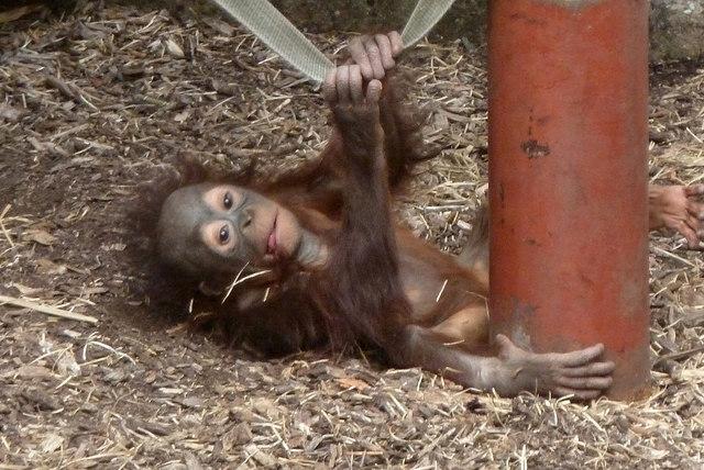 baby orang-oetan aapje