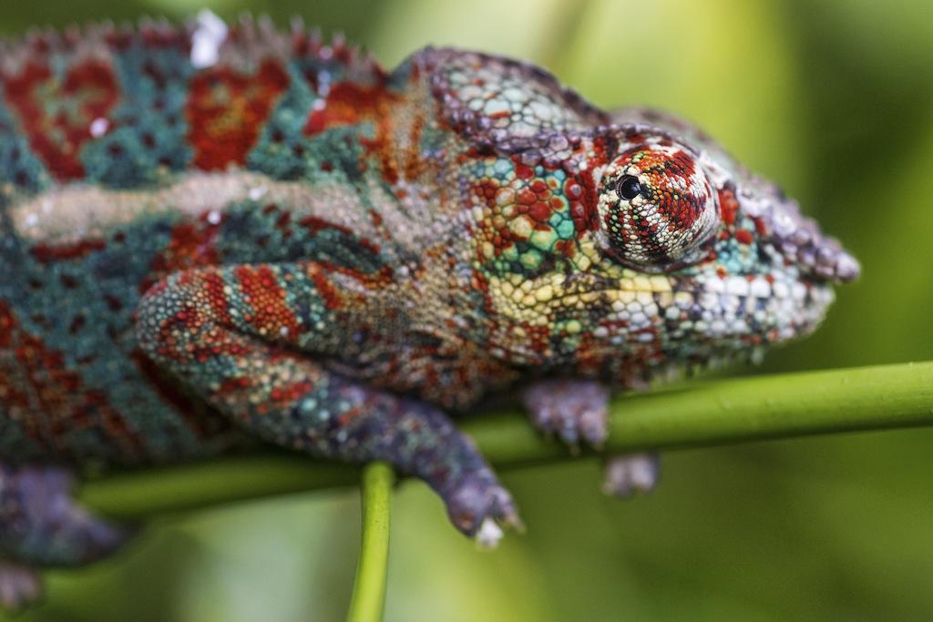 20 Mooie Plaatjes Van Kleurrijke Kameleons