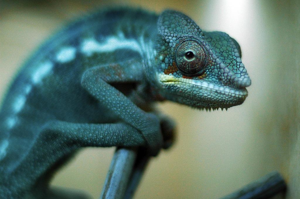 Blauw-groene kameleons